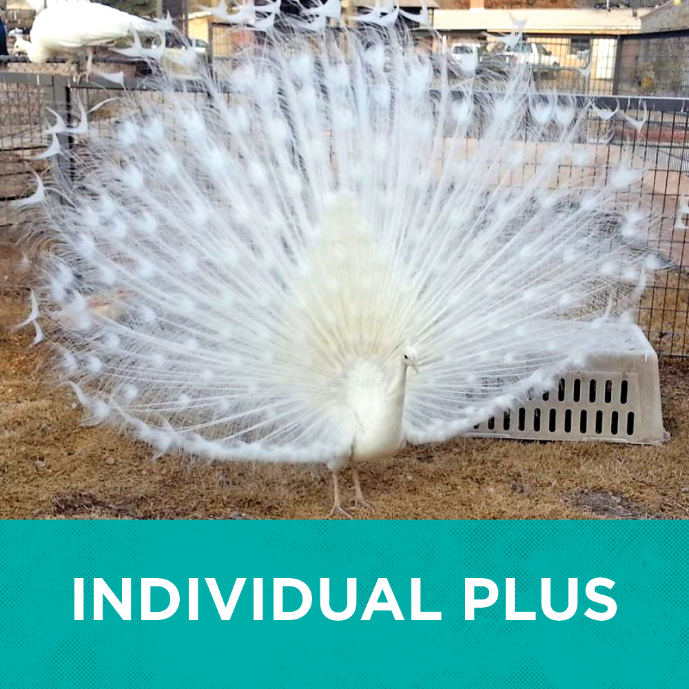 Graphic featuring a peacock with text Individual Membership