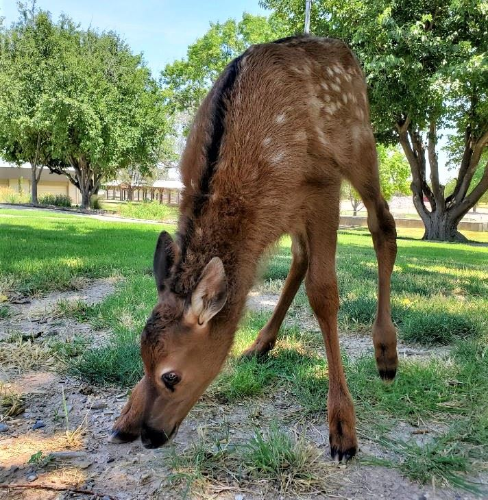 zoo baby elk 1 (July 2020)